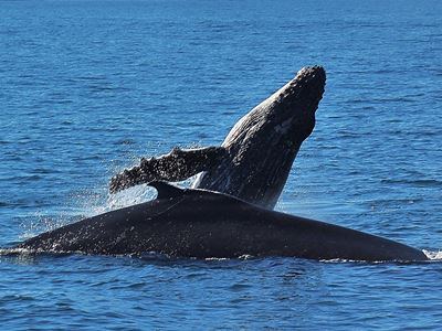 Young Humpback breaching next to mom in Algoa bay while on a Big 7 safari