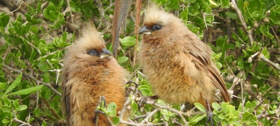 Mouse Birds, Port Elizabeth Alan Tours