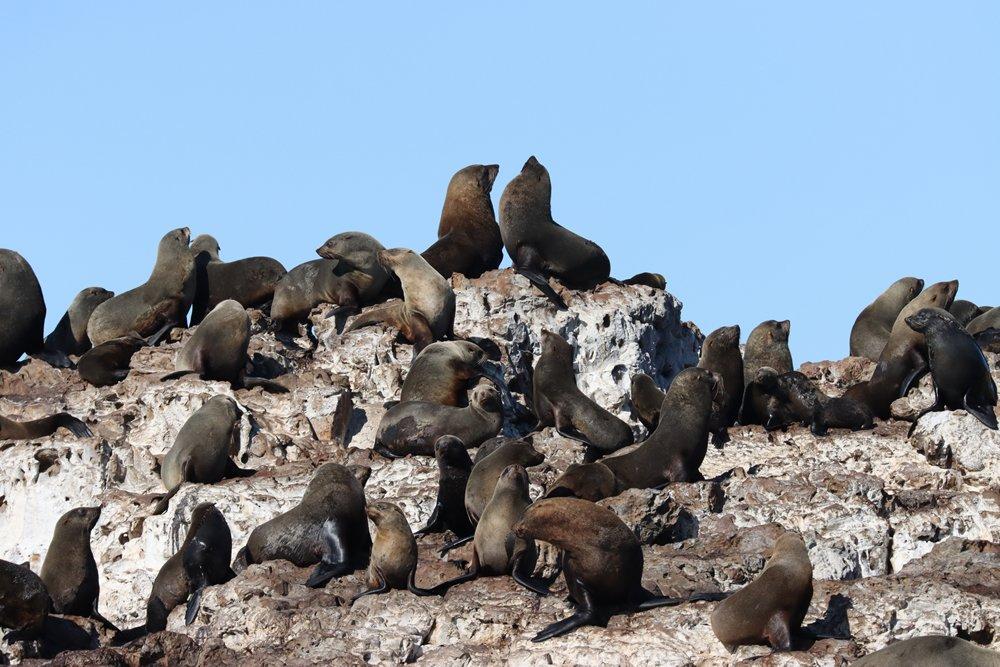 Cape Fur Seals on Black Rocks, Bird Island Group, Algoa Bay