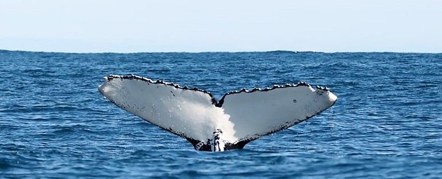 Whale watching, Alan Tours