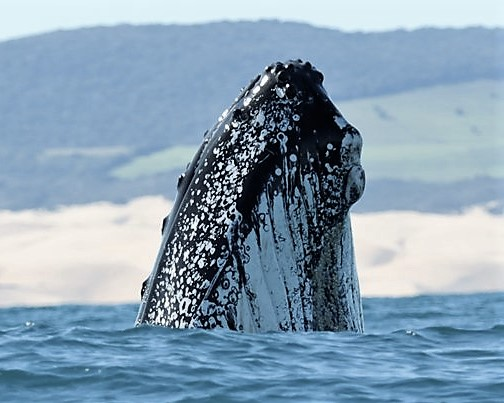 Southern Right Whale, Alan Tours