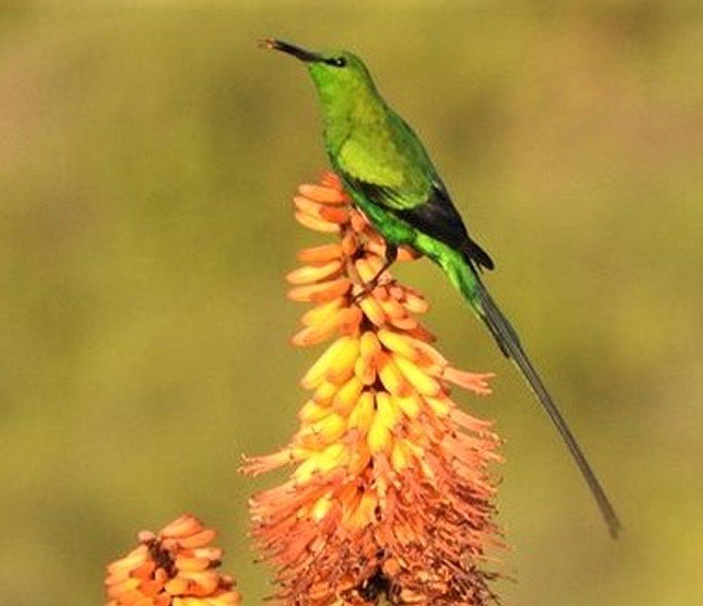Malachite sunbird on Aloe