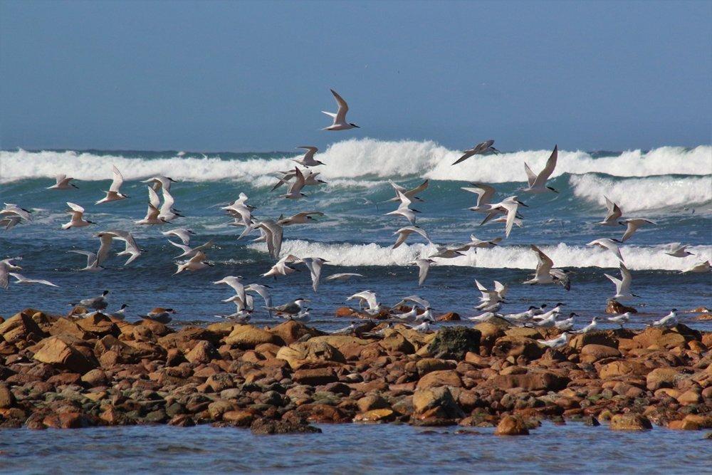 Terns at Cape Recife shoreline
