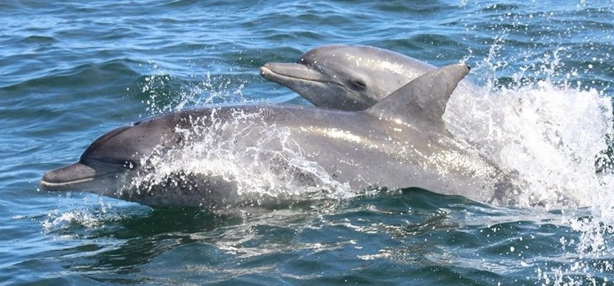 Bottlenose Dolphins, Algoa Bau, Port Elizabeth