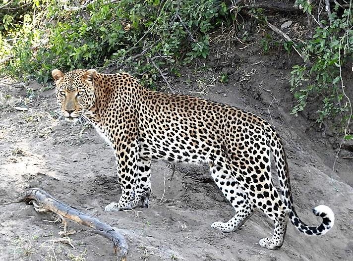 Leopard Kruger Park tours South Africa