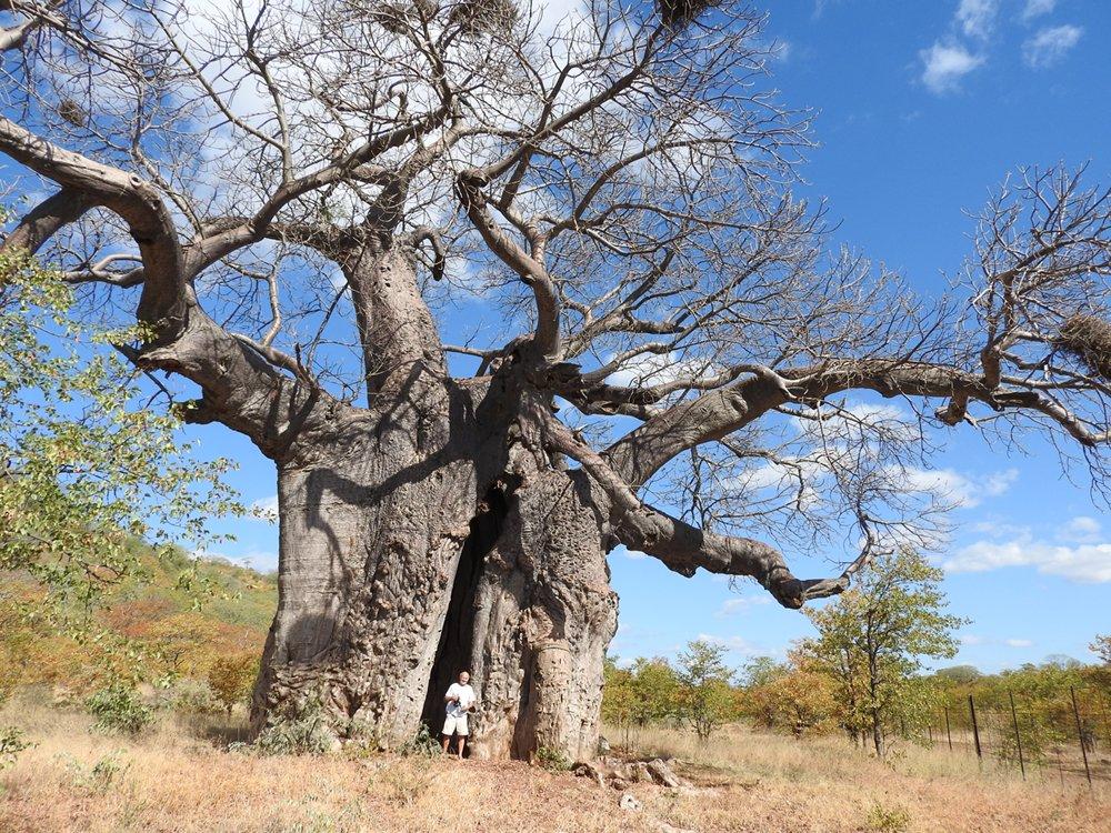 Kruger National Park tour South Africa, giant Baobab tree