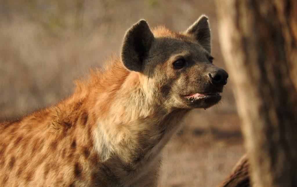hyena kruger park with alan tours