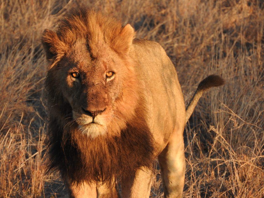 kruger lion alan tours