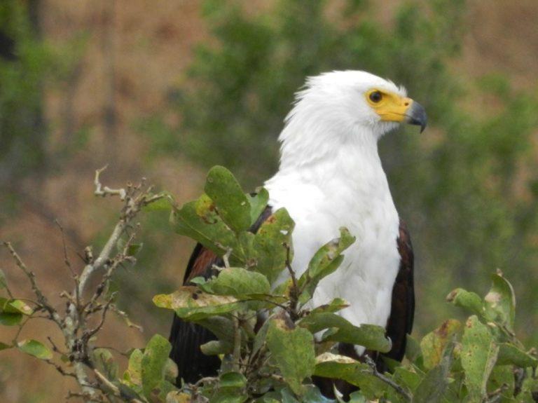 kruger park fish eagle