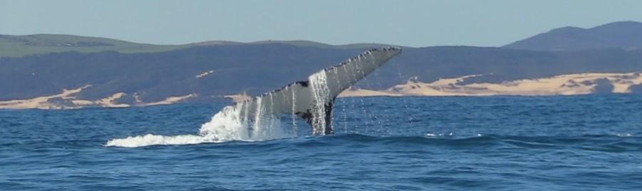 Walewatching Port Elizabeth