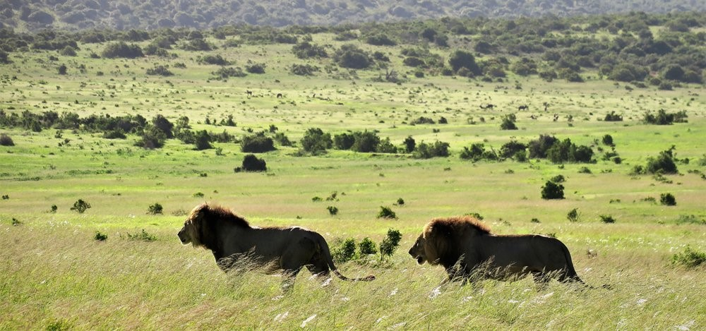 Lion Addo Park with Alan Tours