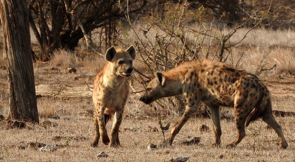 Hyeana kruger national park