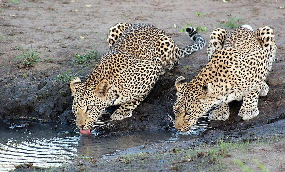 leopard kurger safaris with alan tours port elizabeth