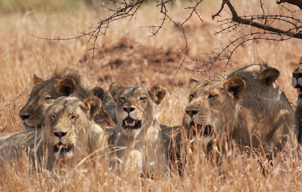 lion kruger park with alan tours