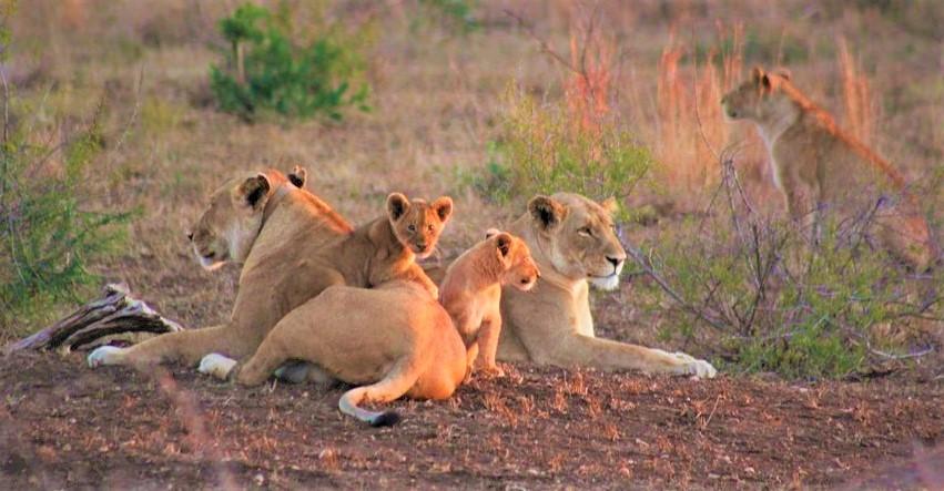lion kruger tours with alan tours