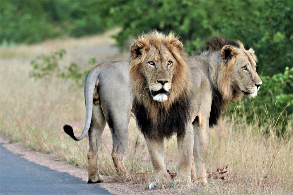 lion kruger national park alan tours port elizabeth