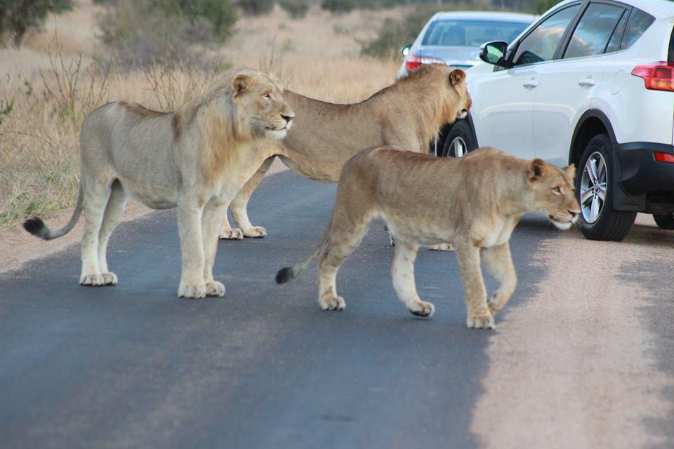 lion kruger park safaris with alan tours port elizabeth