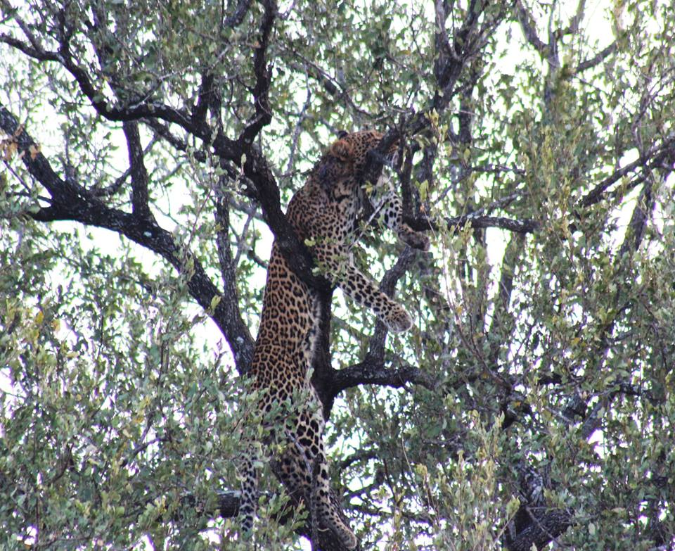 Leopard in the kruger National Park with alan tours