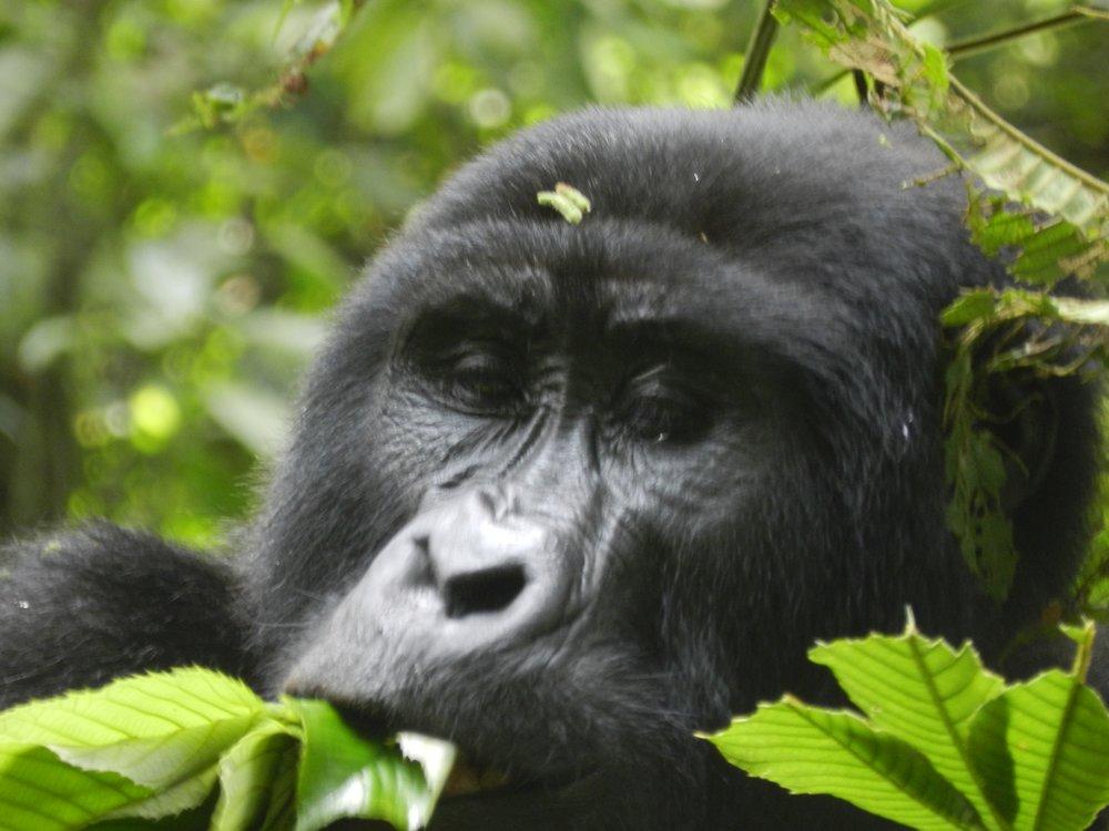 Mountain Gorilla trekking with Alan tours, South Africa