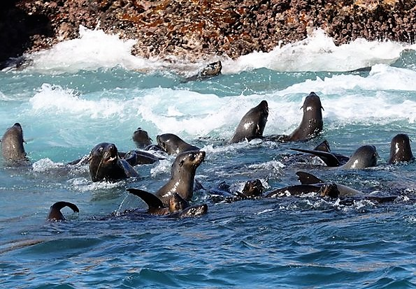 cape fur seals great white shark viewing