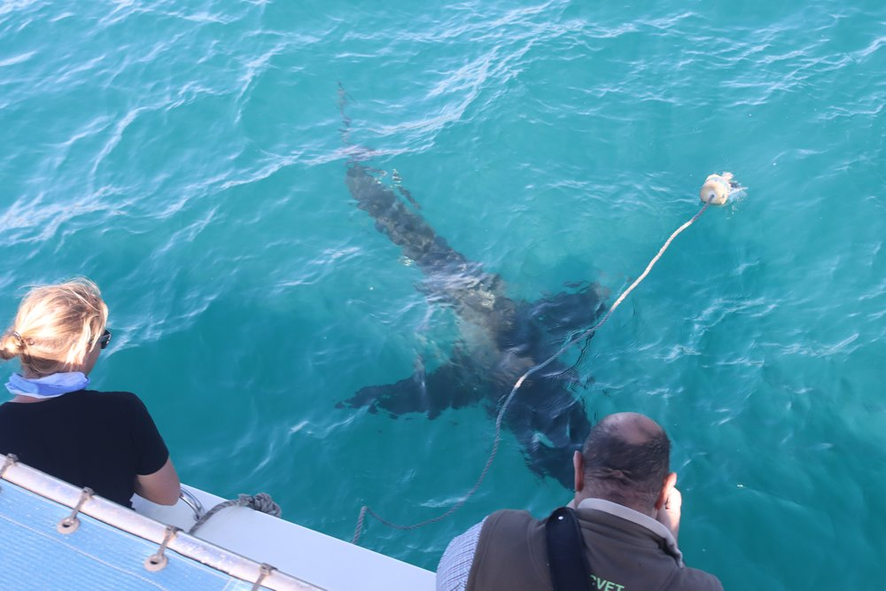 great white shark viewing with alan tours