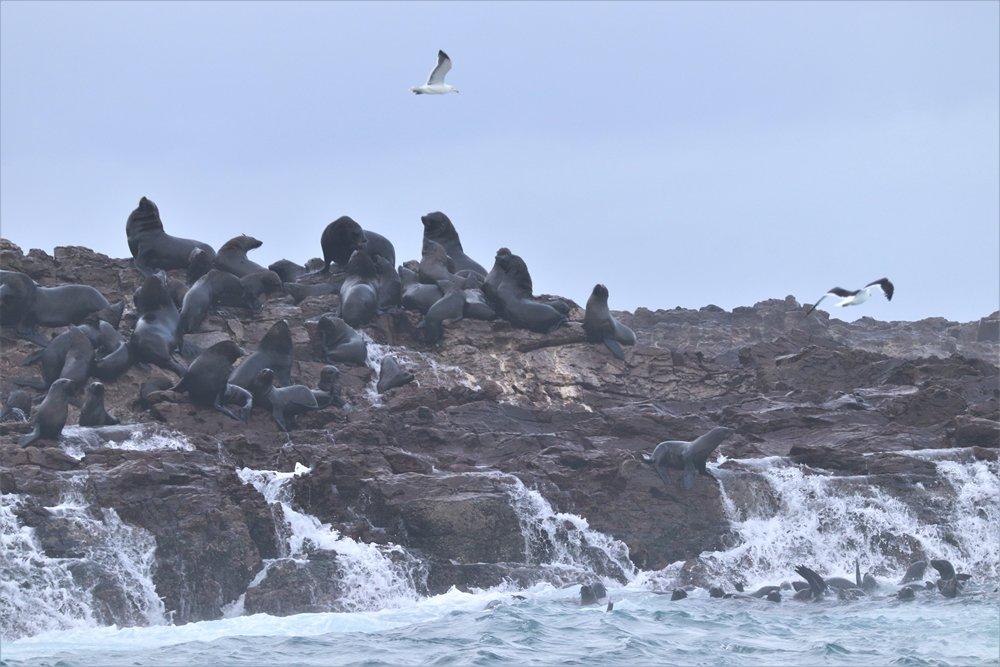 seals on Black Rock, Bird Island group, Algoa Bay