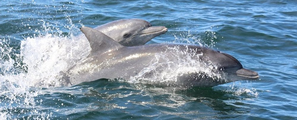 Bottlenose Dolphins, Big 7 safari