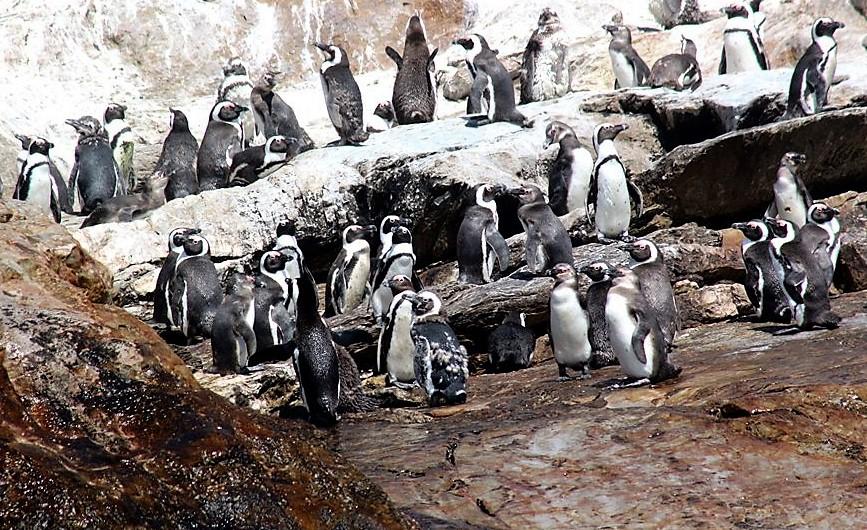 St croix Island penguins