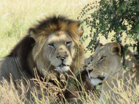 Lion, Addo Park, Tours South Africa