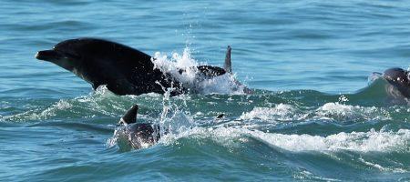 Bottlenose Dolphins, Algoa Bay, Port Elizabeth