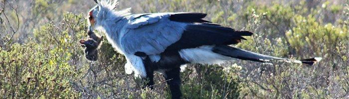Addo Park, Seretary bird