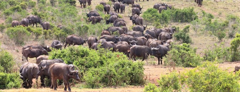 Cape Buffalo herd, Addo Park, Alan Tours, South Africa