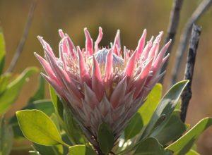 King Protea Garden Route Tours from Port Elizabeth